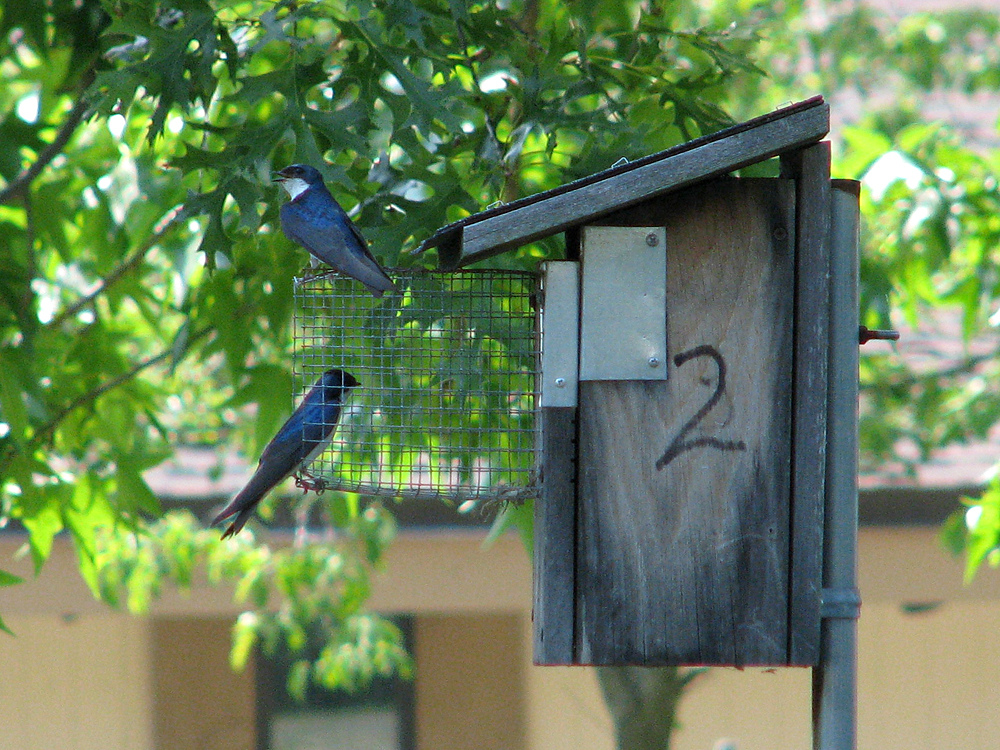 Eastern Bluebird Nest Box with Predator Guard