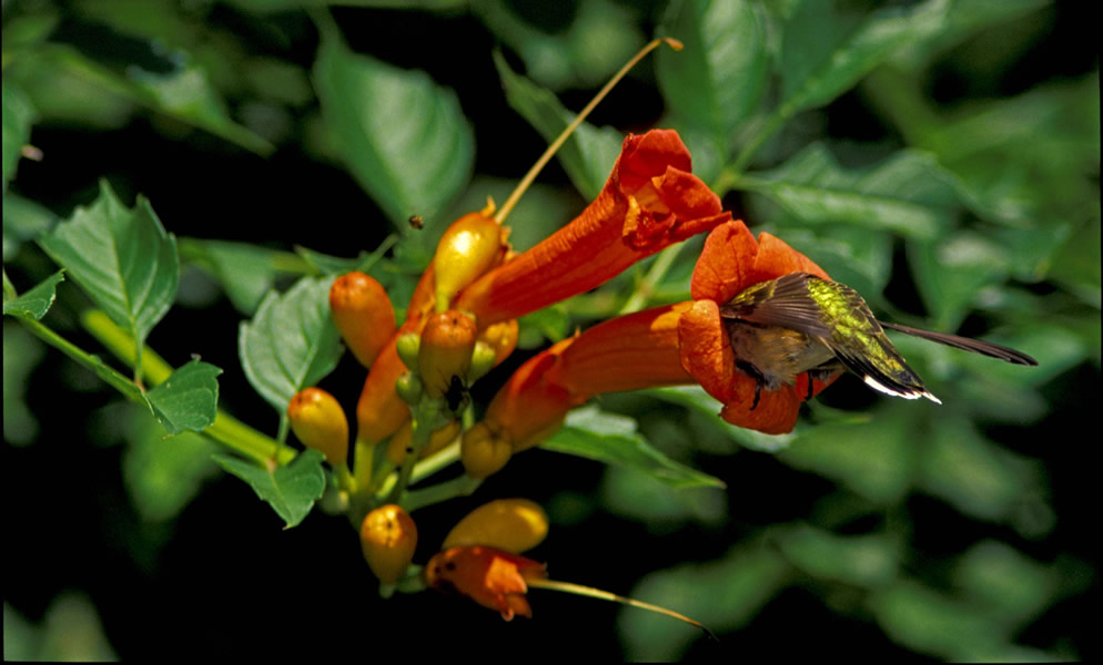 Native trumpet vine attracts and feeds humming birds.