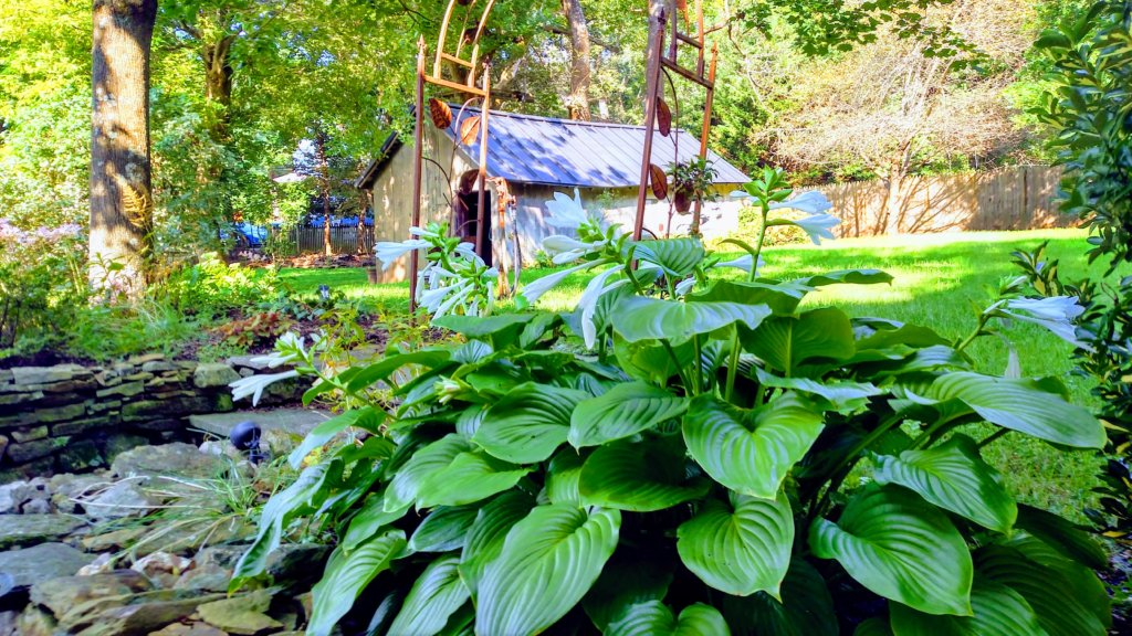Hostas in Bloom at 18339 Railroad Street in the Historic Village of Bluemont Virginia