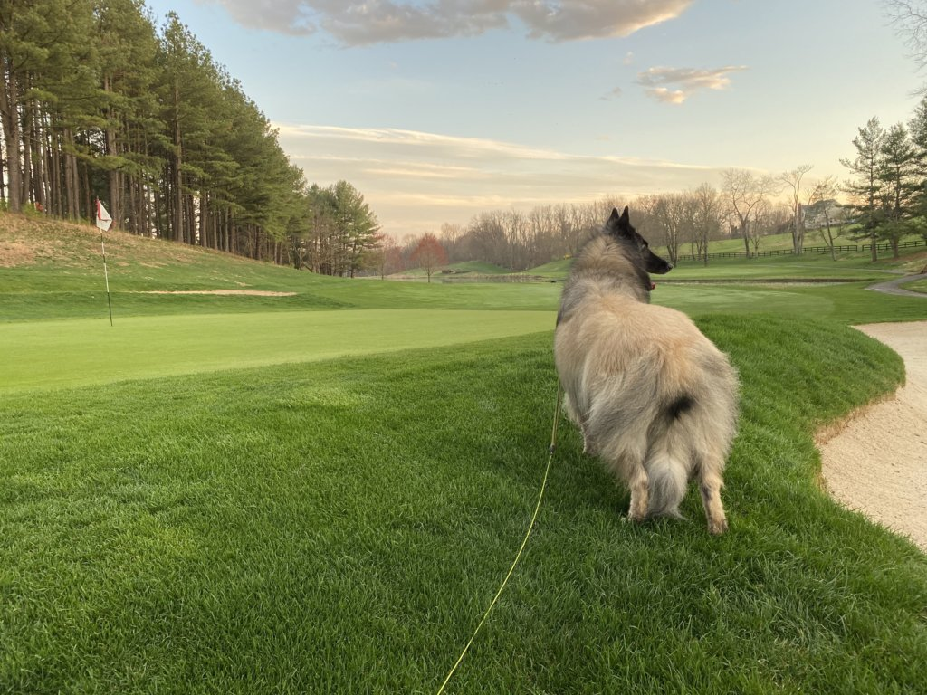 Picture of a Belgian Sheepdog named Tegan walking on a golf course.