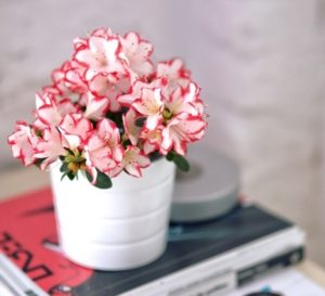 pink flowers in white pot