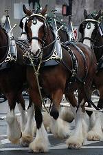 The Budweiser Clydesdales will be making appearances all over Lake Havasu this Thursday through Sunday.