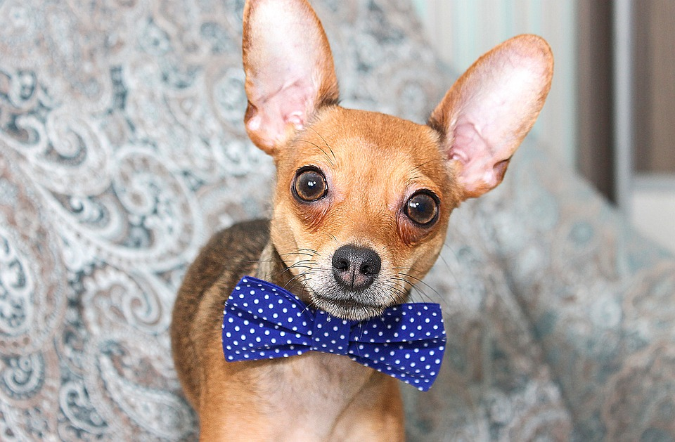 Celebrate May 5th with a little furry fun. Bring your littlest family member to the Lake Havasu Cinco de Mayo Chihuahua Races 2018 at Paws & Claws this Sat, May 5th. Registration takes place at 4:30 pm, with races starting at 5 pm. $200 grand prize for the winner!